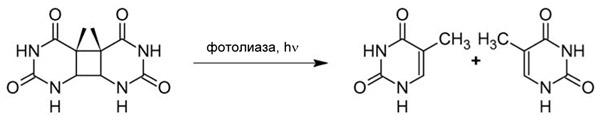 Рис. 1. Реакция, катализируемая фотолиазой