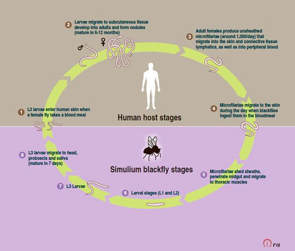 Жизненный цикл нематоды Onchocerca volvulus
