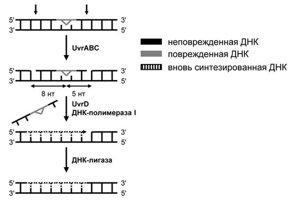 Рис. 2. Эксцизионная репарация нуклеотидов