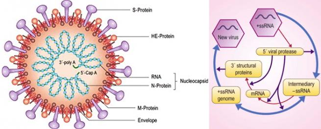 Строение и генетический цикл коронавируса