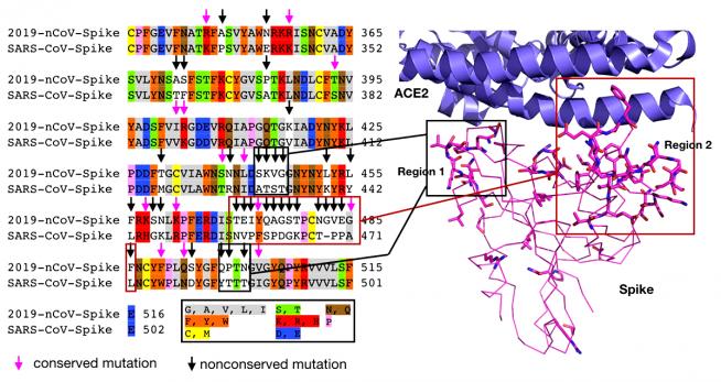 Взаимодействие клеточного рецептора ACE2 с эктодоменом белка Spike
